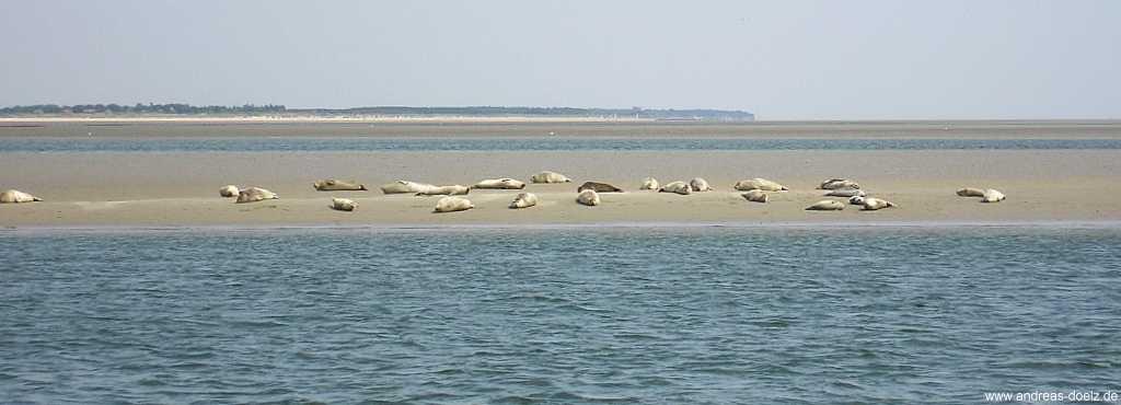 Seehunde zwischen Amrum und Föhr beobachten mit der MS Eilun