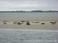 Watt Seehunde Eilun Amrum