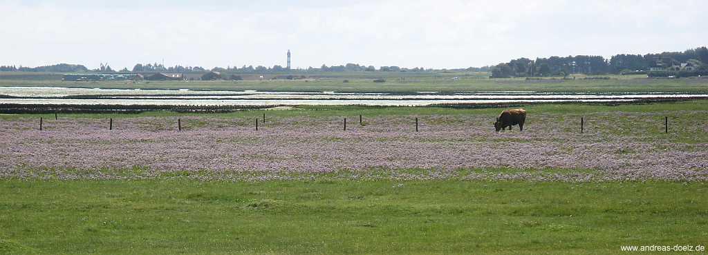 Strandflieder auf den Salzwiesen am Watt von Amrum